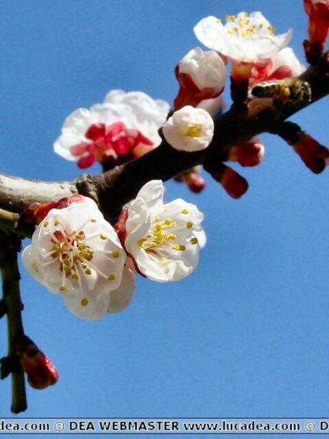 fiori albicocco
