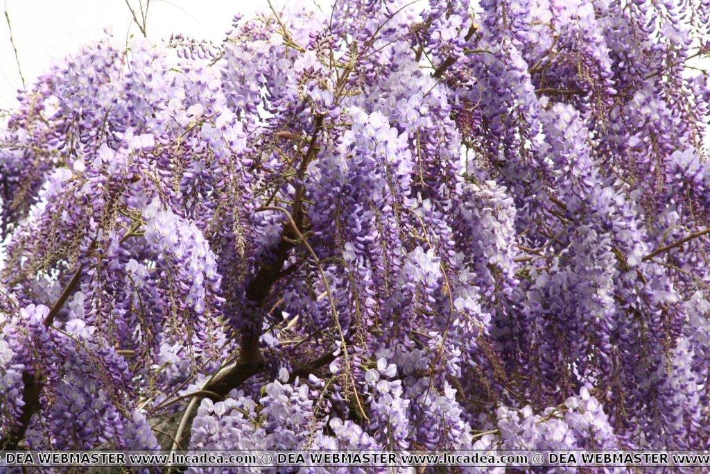 fiori di glicine foto
