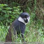 rwanda scimmia