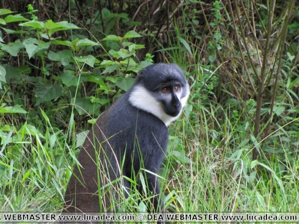 scimmia rwanda