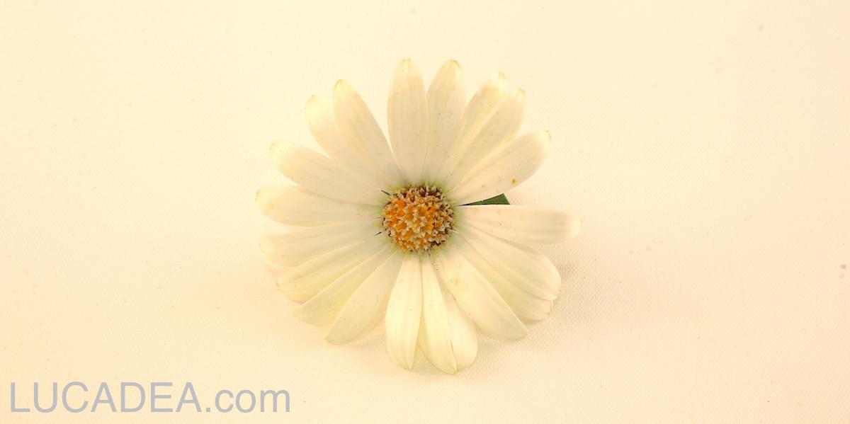 fiore-su-bianco