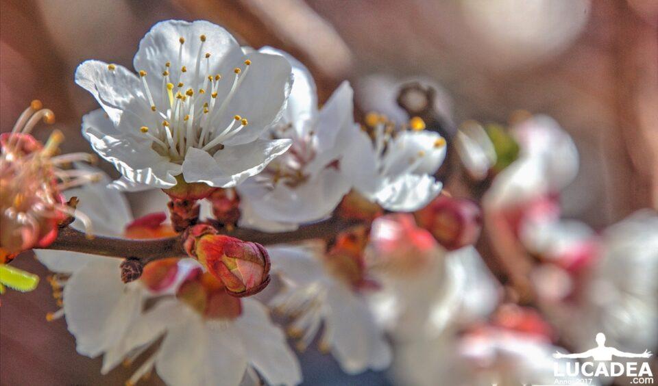 fiori di albicocco