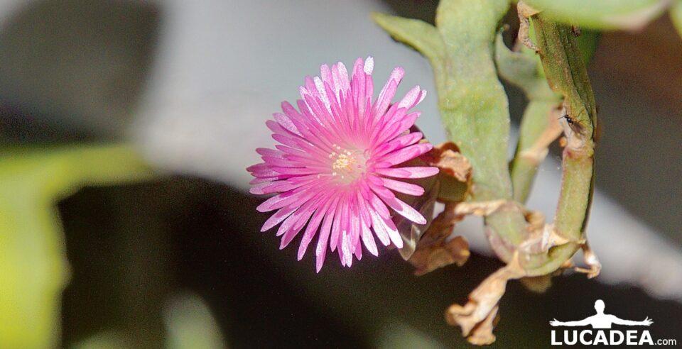 Fiorellino rosa