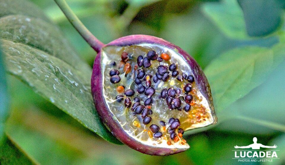 frutto del cappero