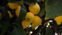 Limoni (foto)
