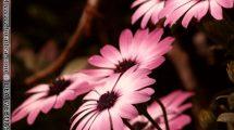 Fiori rosa... (foto)