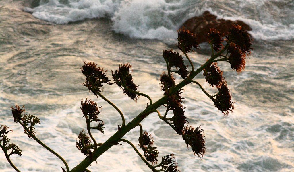 Agave sul mare