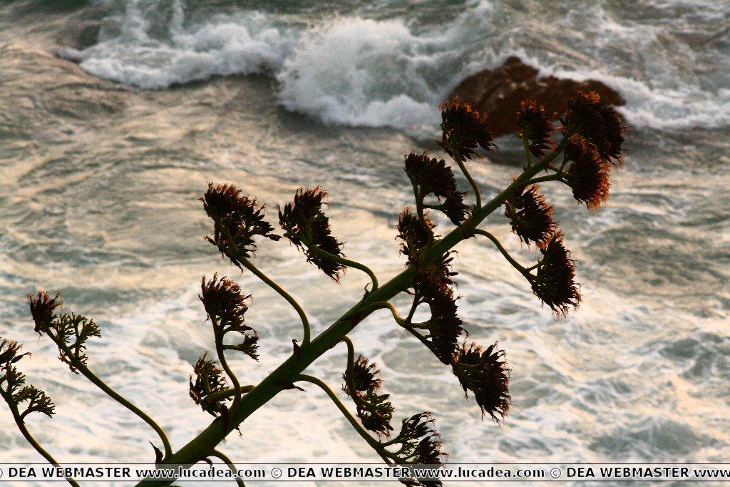 Agave sul mare di Sestri Levante