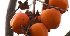 Cachi, un bel albero da frutto