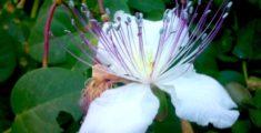 Fiore del cappero: in pochi lo conoscono perchè si mangia prima (foto)
