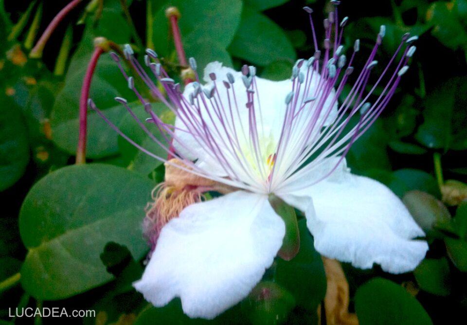 Fiore del cappero