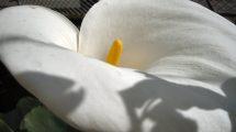 Il fiore della calla (foto)