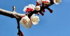 Fiori di albicocco (foto)