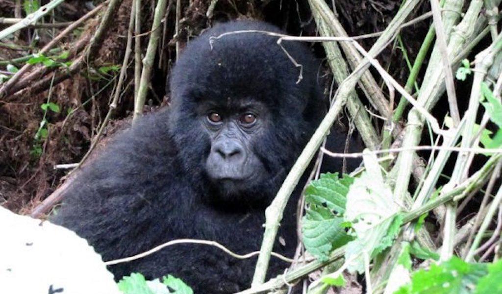 orango uganda