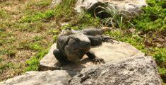 Iguana in Messico