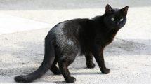 Gatto nero (foto)