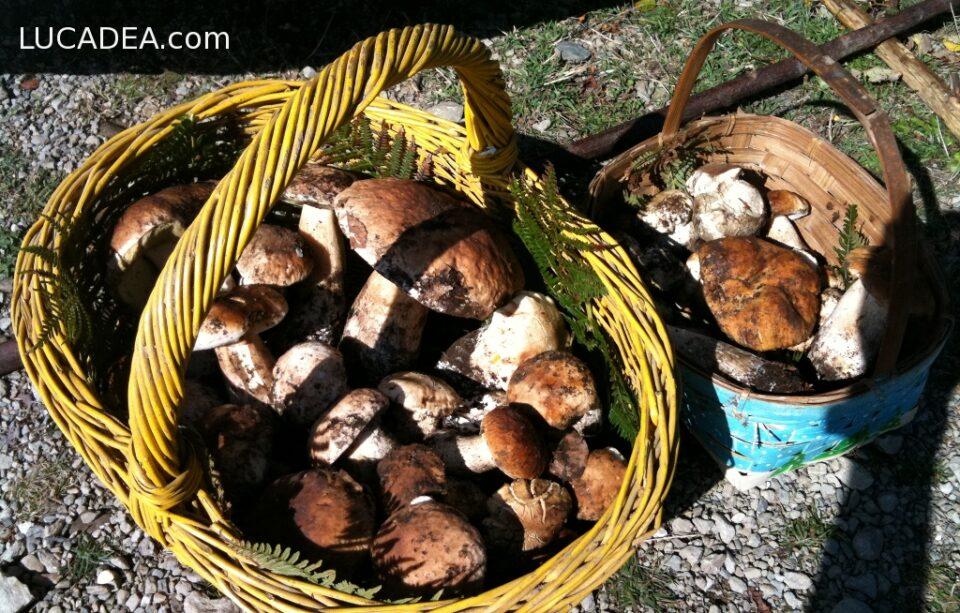 funghi raccolti