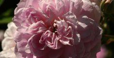 Garofano rosa (foto)