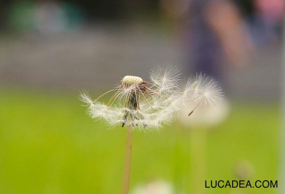 Soffione, il fiore dei bambini