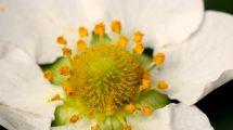 Fiore della fragola
