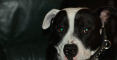 Il mio pitbull Nicco (foto)