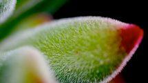Peluria pianta grassa (foto macro)