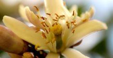 La Zagara: il bellissimo fiore del limone