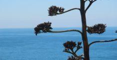 Fiore dell'agave col mare di sfondo: un'immagine classica