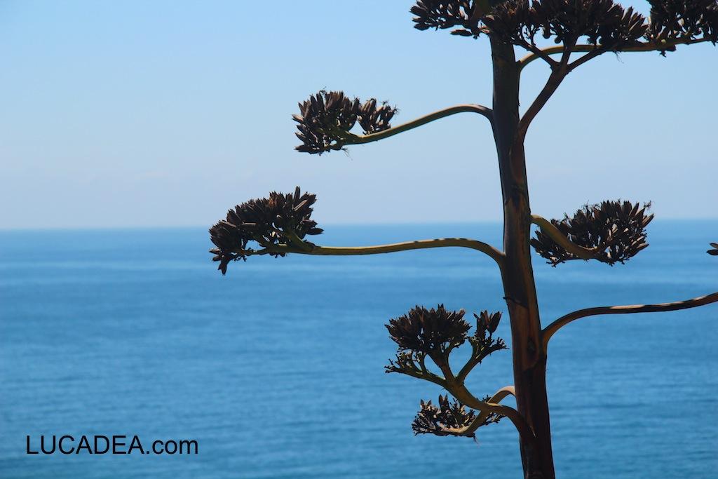 Fiore dell'agave col mare di sfondo: un'immagine classica (foto)