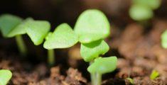 Piantine di basilico (foto)