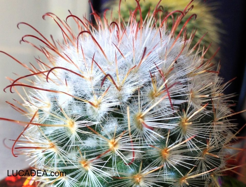 Che cactus