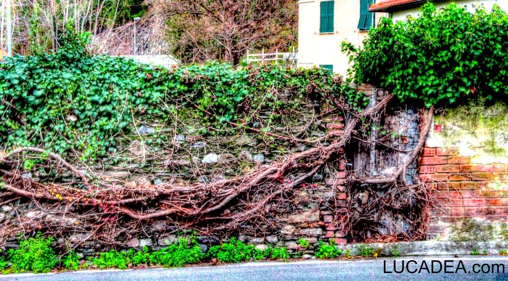 Piante rampicanti su muro (foto)