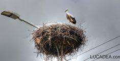 Cicogna in Romania (foto)