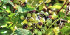 Grappolo d'uva appeso