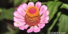 Fiore rosa (foto)