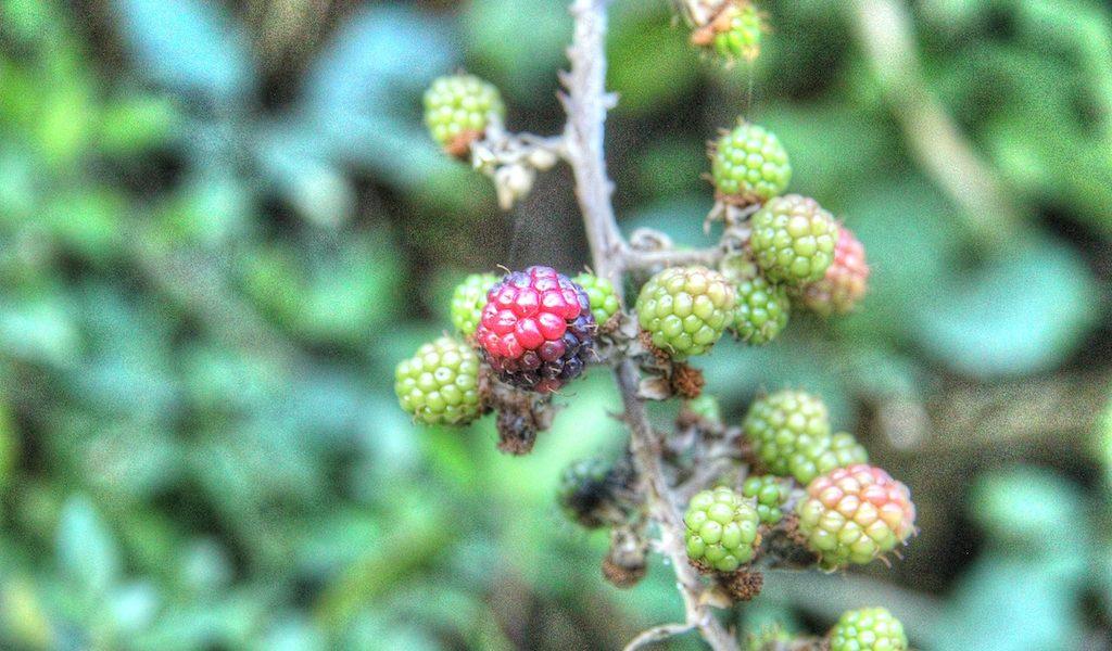 More sulla pianta
