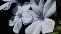 Fiore azzurro (foto)