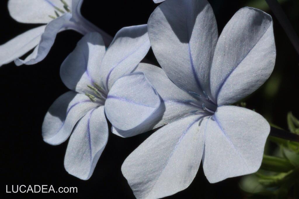 fiori blu.jpg