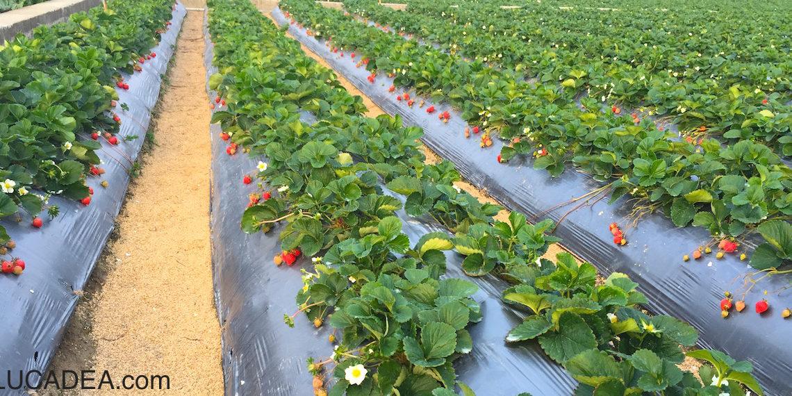 Oahu strawberry