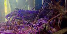 Aragoste in acquario