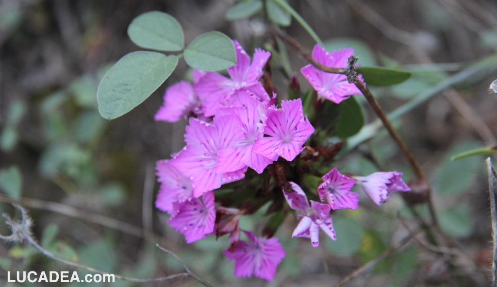 Fiori selvatici rosa