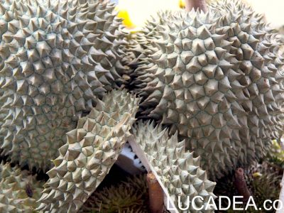 Durian o durione