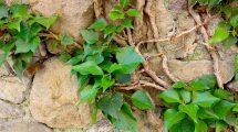 Edera verde su muro