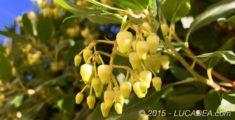 I fiori del corbezzolo (foto)