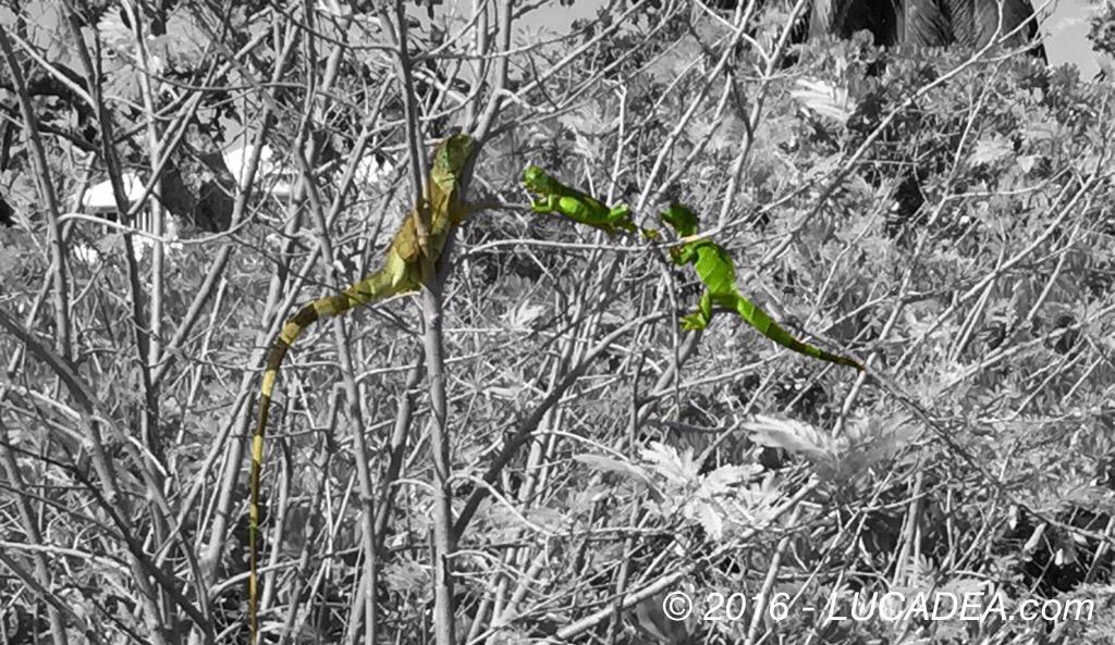 Animali mimetizzati: iguana (foto)