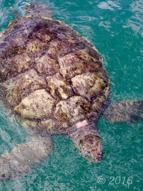 Tartarughe a Grand Cayman