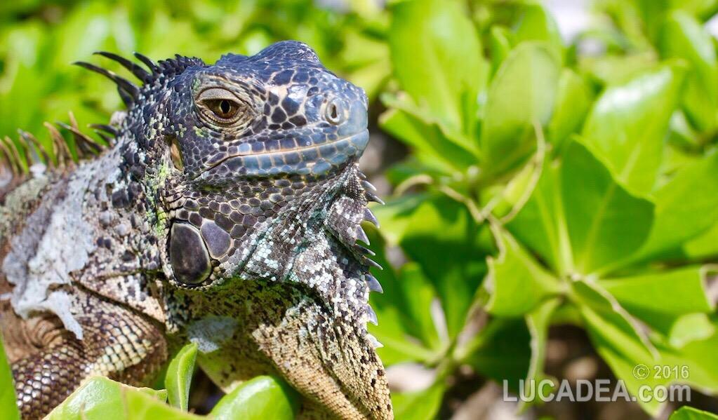 Iguana: un rettile antico comune in centroamerica