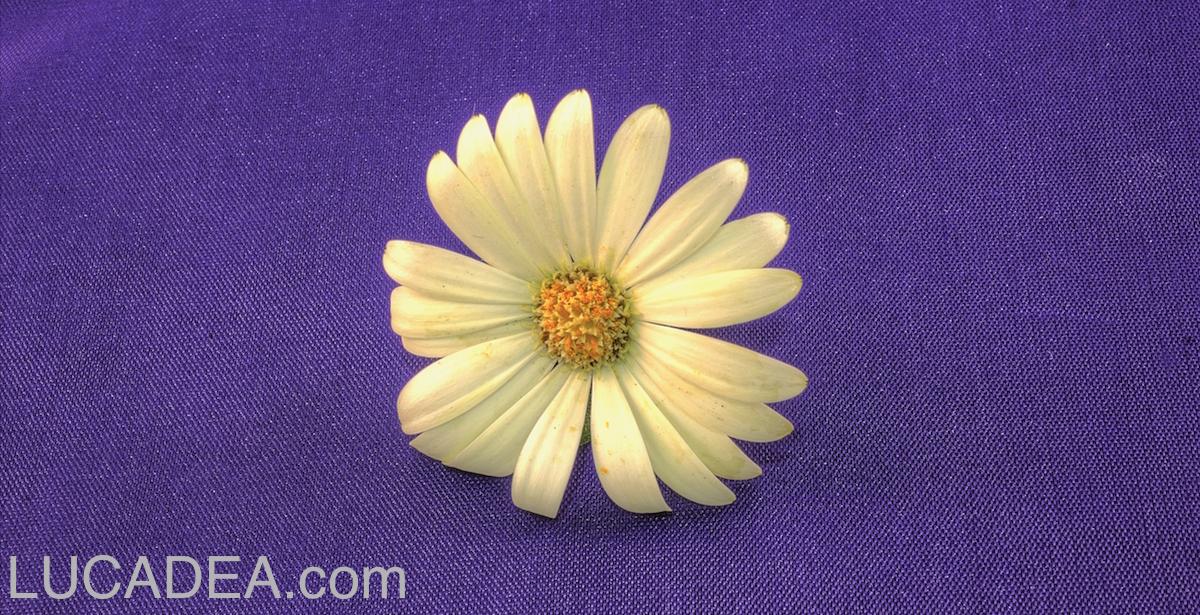fiore-su-viola