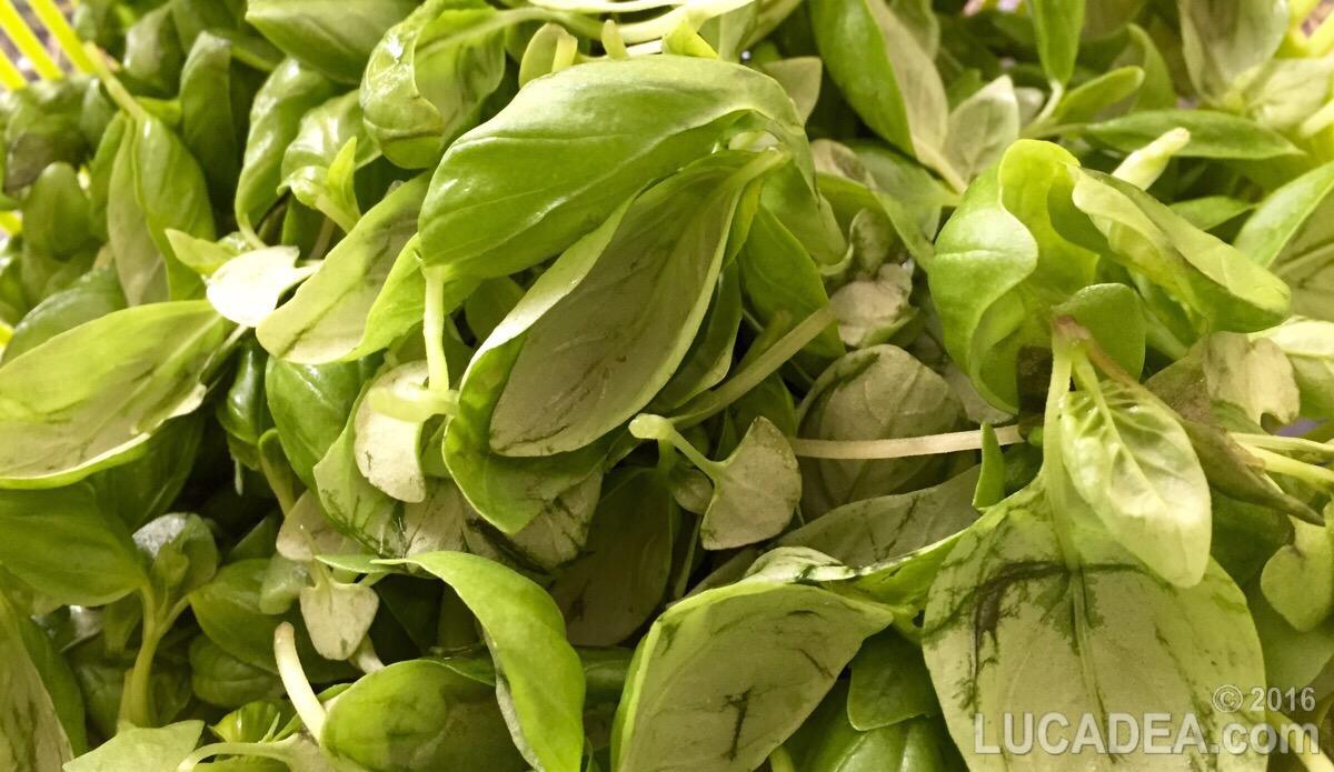 Preparare il basilico per il pesto (foto)