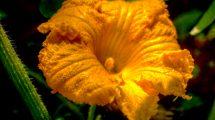 Fiore della zucca hdr